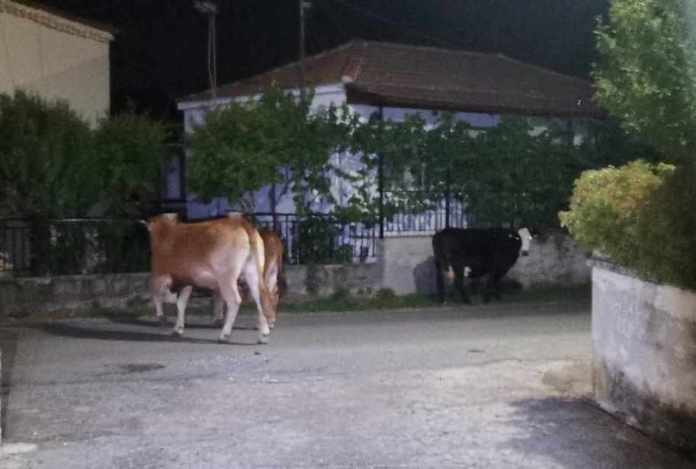 Το Περιφ.Συμβούλιο Πελοποννήσου συζήτησε για τα ανεπιτήρητα βοοειδή που προκαλούν φθορές στον Δήμο Μεγαλόπολης