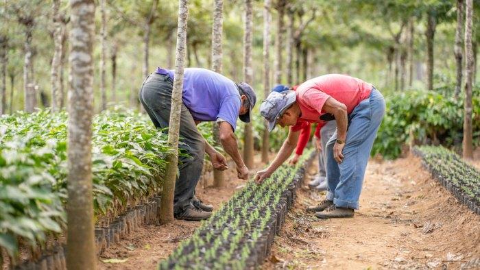 Bilde som viser stell av nyplantede kaffetrær på kaffeplantasje.
