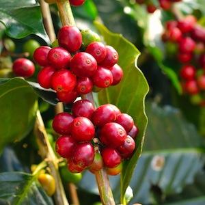 kaffeewagen hannover mobile kaffeebar kaffeepflanze 1 teaser