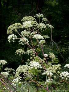 Angelica. Source: MedicinalHerbInfo.Org