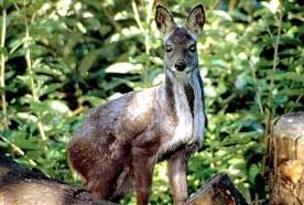 Siberian Musk Deer. Source: Summagallicana.it