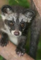 The civet. Source: focusingonwildlife.com