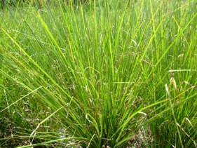 Haitiian vetiver grass. Source: astierdemarest.com