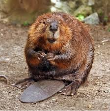 Castoreum comes from North American Beaver, though synthetic versions are now used. Photo via Wikipedia.