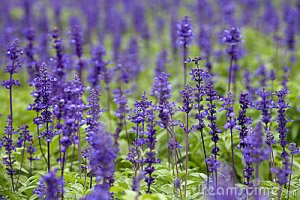 Clary sage. Source: dreamstime.com