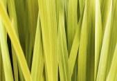 Lemongrass. Source: background-pictures.vidzshare.net