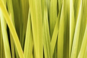 Lemongrass. Source: background-pictures.vidzshare.net