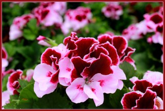 Martha Washington Geraniums. Source: 4hdwallpapers.com