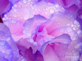 """Wet Rose In Pink And Violet"" by Nareeta Martin on Fine Art America. (Website link embedded within.)"