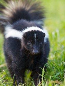 Skunk via wildcarebayarea.org