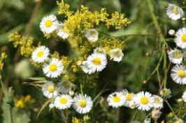 Chamomile flowers. Source: torange.us