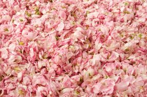 Rose Centifolia/Cabbage Rose petals. Photo: Anne McClain. Source: trustart.squarespace.com (Direct website link embedded within.)