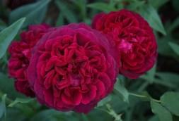 Rosa Damascena. Photo via Pinterest, possibly taken by David Austen.