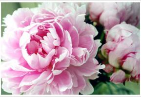 Peonies. Source: crafthubs.com