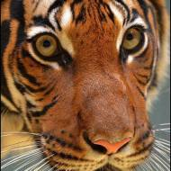 big cat_ tiger