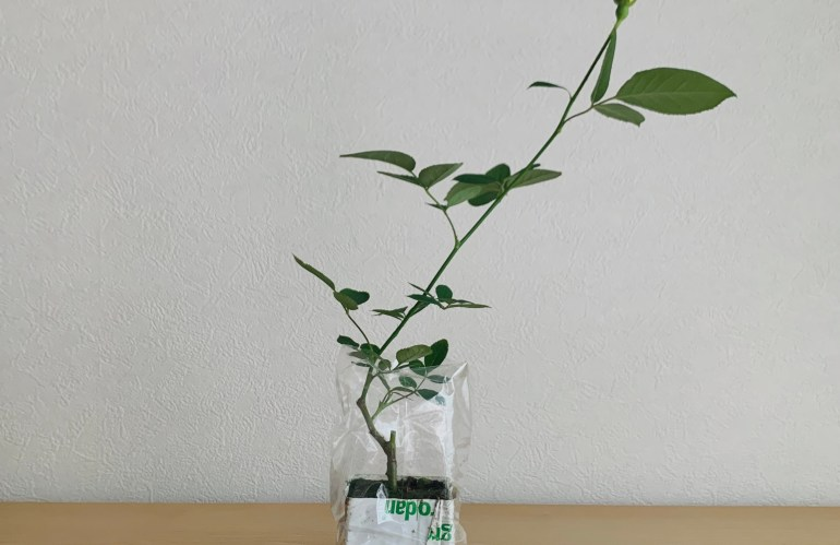 切り花と園芸のあいだで始められる室内で育てるばら─滋賀のローズファーム・《WABARA》
