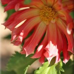 Dahlia Collection*
