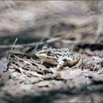 里山のカエル