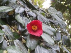 椿の花が美しい