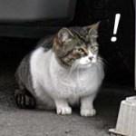 松戸の野生猫