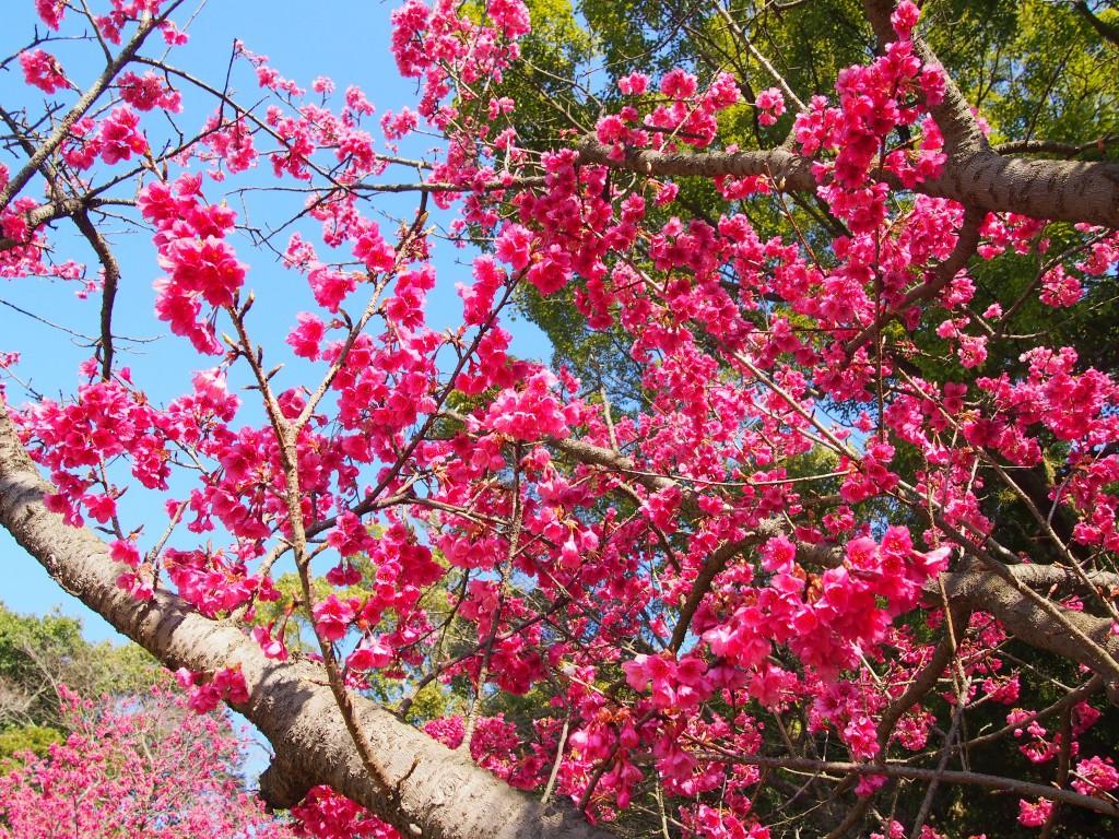 仙巌園の梅の花
