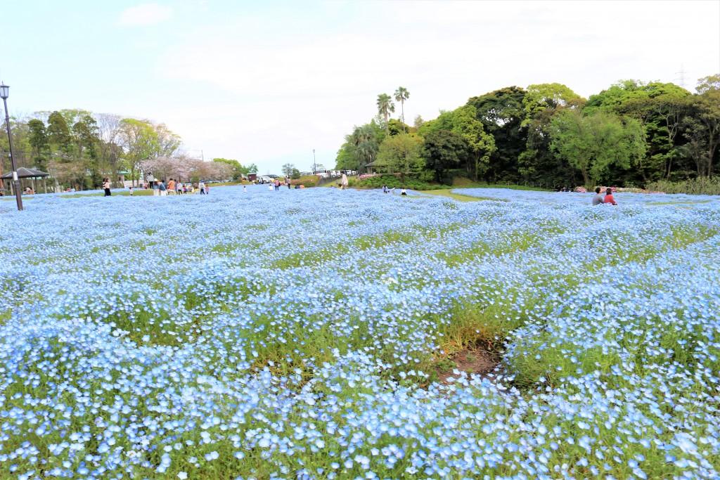 慈眼寺公園のネモフィラ