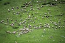 翌朝も羊の群れを。