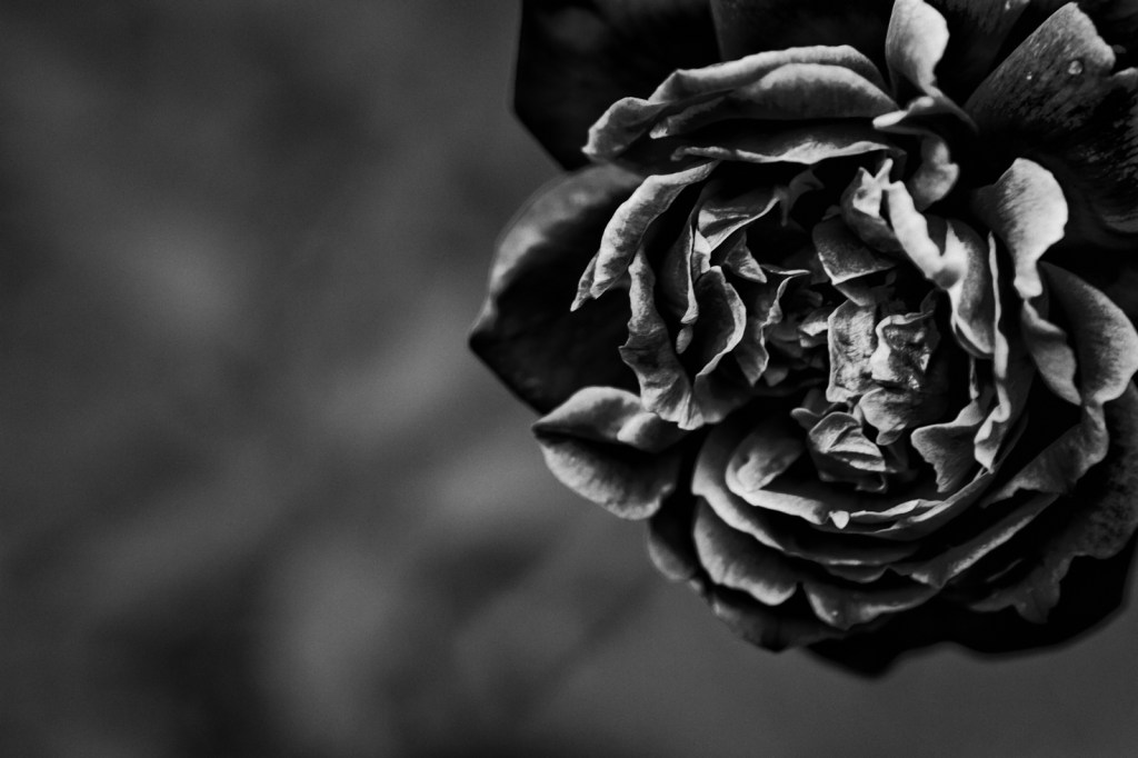 Death of a Rose_1600x1067