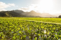 Hanalei Taro Fields at Sunset