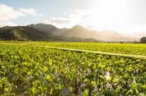 Hanalei Taro Fields at Sunset