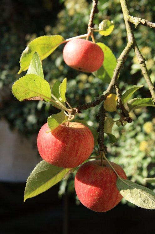 Delicious garden apples
