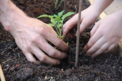 Amelie´s garden tomato planting