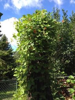 Beans climbing high up!
