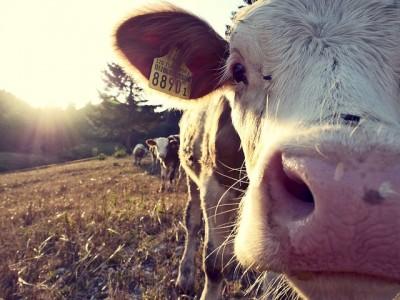 イギリスでは、牛乳は良薬?