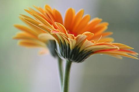 daisy-434695_640
