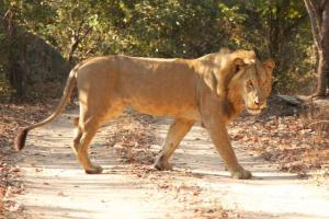Two young males and a female provided some great adrenaline moments and sightings in the camp!