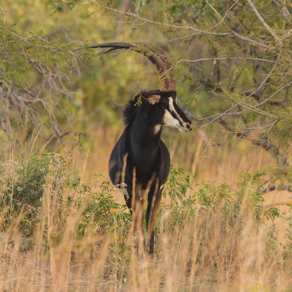 Sable-in-Zambia