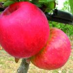 APPLE 'AUTENTO'   -  DWARF
