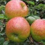 APPLE 'BRAMLEYS SEEDLING'