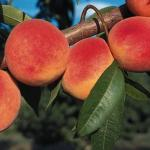 PEACH 'RED HAVEN'