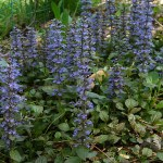 AJUGA 'JUNGLE BEAUTY'