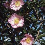 CAMELLIA 'PLANTATION PINK'