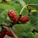 MULBERRY 'HICKS EARLY'
