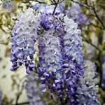WISTERIA 'BLUE SAPPHIRE'