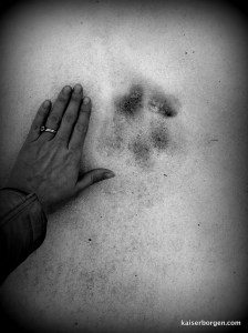 Probable wolf track