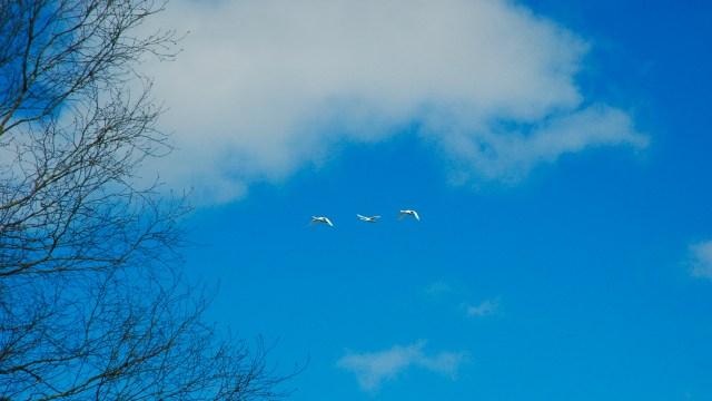 Svaner i luften på Mols