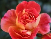 Brüder Grimm Rose