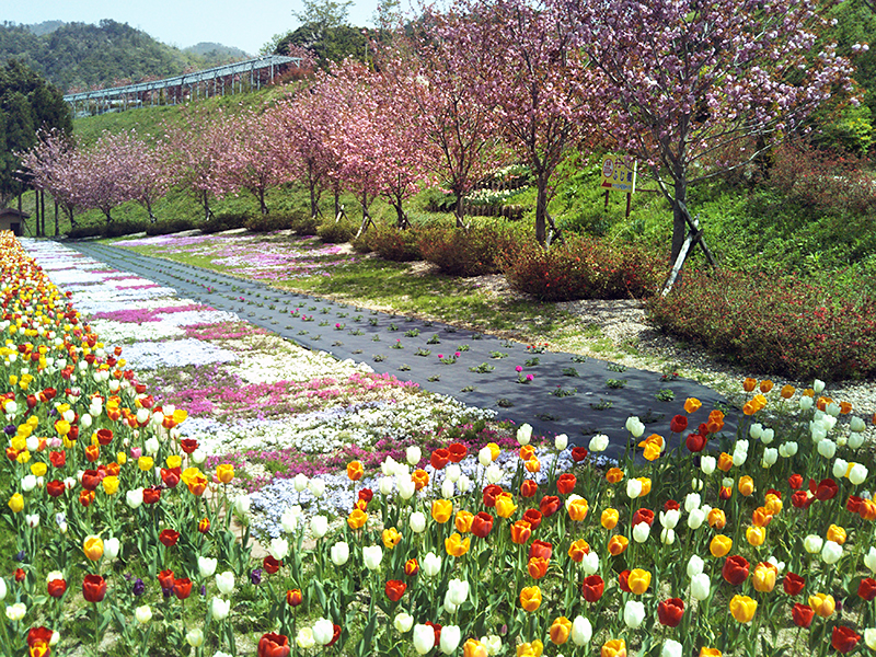 チューリップと芝桜(花郷OKADA)