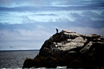 An Eagle stretches it's wings on a rock island in Kenai Fjords National Park.