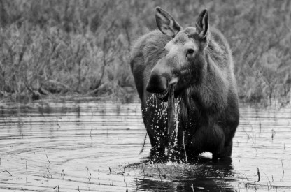 An Alaskan Moose dredges up a aquatic plants for a meal.